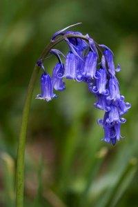 Hyacinthoides_non-scripta_(Common_Bluebell)